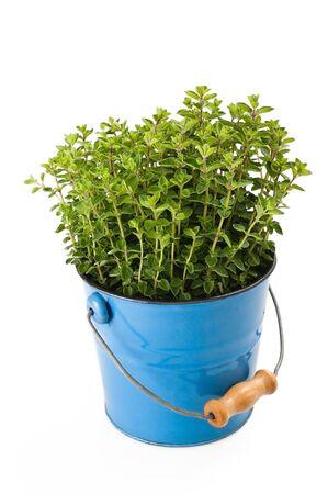 oregano plant: oregano plant in vase isolated on white