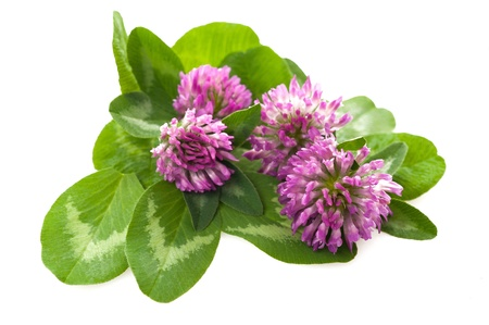 trifolium: Red clover isolated on white