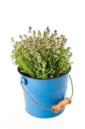 Thyme,aromatic herb in vase photo