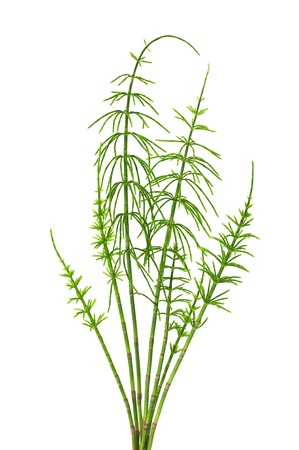 horsetail isolated on white background photo