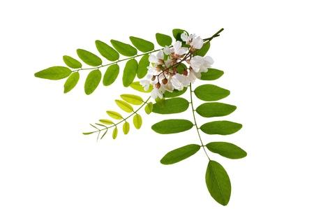 plantas medicinales: Hojas de acacia y flores aisladas en blanco