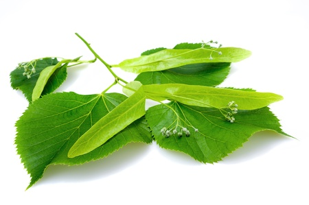 herbalist: Linden leaf and flowers isolated on white