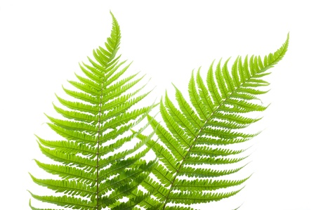two ferns isolated on white Stock Photo - 13774358