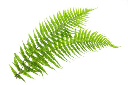 two ferns isolated on white photo
