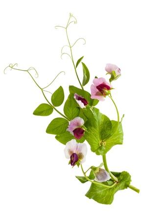 peas in a pod: Sweet pea flowers  Lathyrus odoratus
