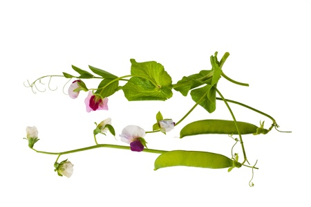 sweet pea flower: peas flowers with  pods isolated on white Stock Photo