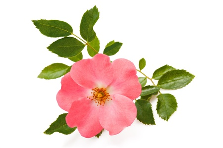 Dog  rose isolated on white photo