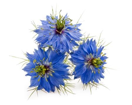 nigella flowers isolated on white