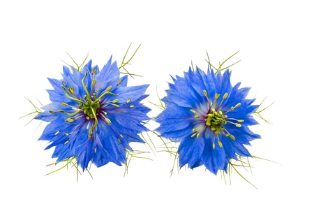 nigella flowers isolated on white photo