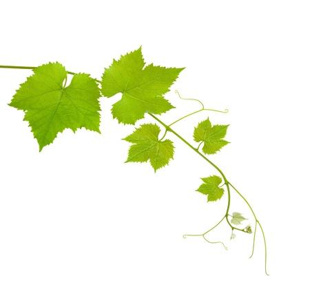 wijnbladeren: Vine tak geà ¯ soleerd op witte achtergrond