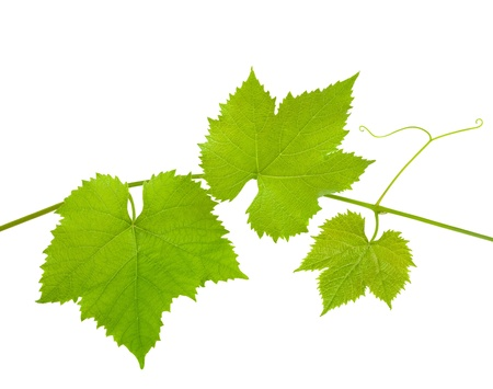Vine branch isolated on white background photo