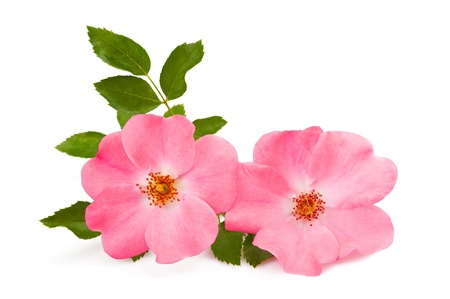 rose pink flower isolated on white photo