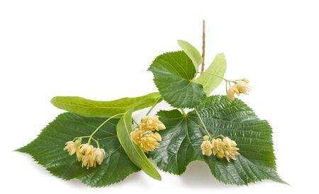 officinal: Linden leaf and flowers isolated on white