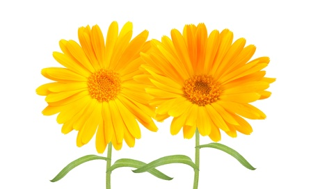 two Calendula flower  photo