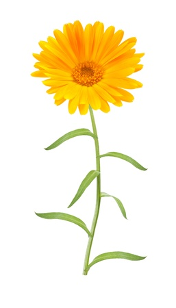 Calendula flower on white background photo