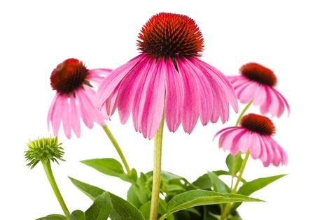 plantas medicinales: Coneflowers aisladas sobre fondo blanco