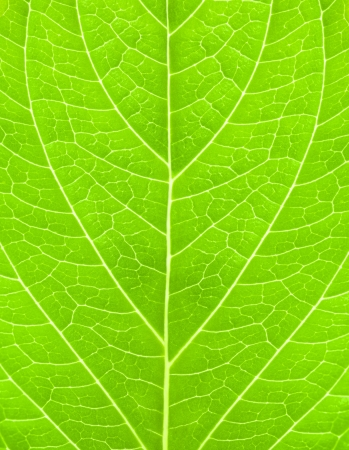 green background of hydrangea leaves photo