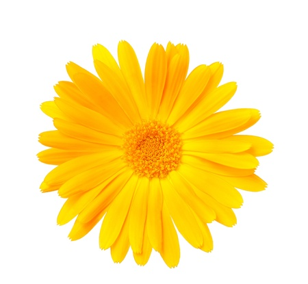 Calendula flower  photo