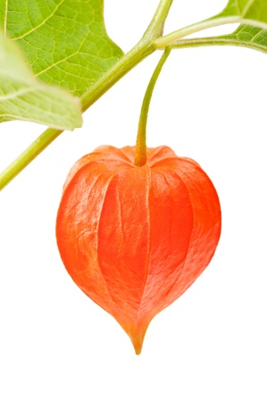 physalis: Red Alkekengi with leaf isolated