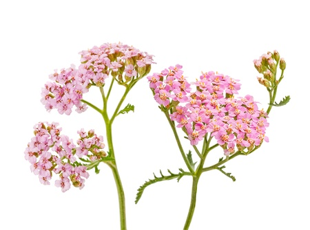 yarrow isolated on white background photo