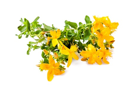 St John s wort isolated on white photo