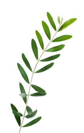 rama de olivo: rama de olivo aislado en blanco Foto de archivo