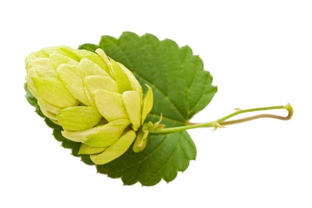 hop hops: hop with leaf isolated on white Stock Photo