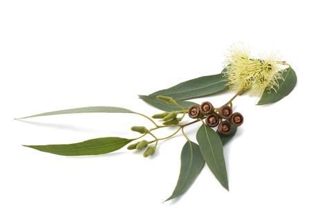 eucalyptus branch isolated on white Stock Photo