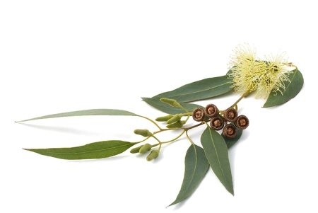 eucalyptus branch isolated on white Stock Photo