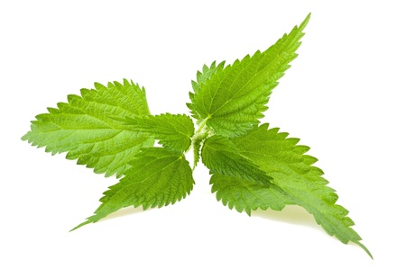 Wild nettle isolated on white