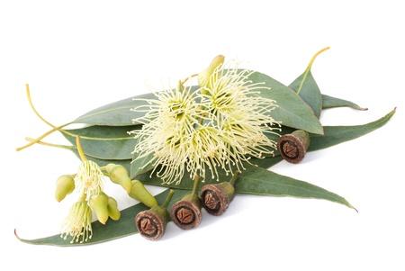 Branche d'eucalyptus isolé sur blanc