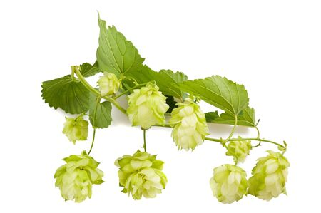 humulus: hops with leaves isolated on white