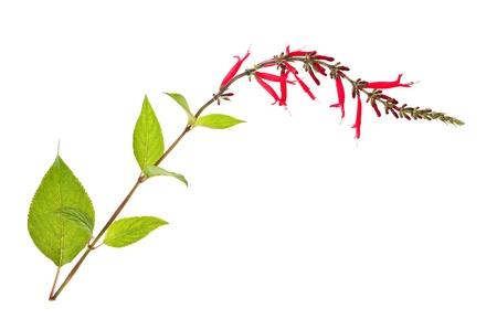 salvia: sage flowers isolated on white