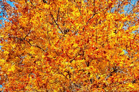 beech tree: background of beech tree in autumn  Stock Photo