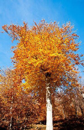 beech tree:  beech tree in autumn with blue sky