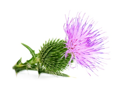 thistle:  thistle flower isolated on white