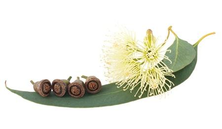 eucalyptus trees: Eucalyptus branch isolated on white