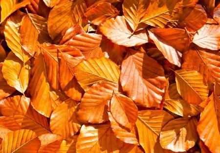dried leaf: background of beech leaves fallen