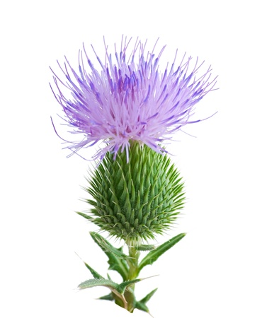 thistle flower isolated on white Stock Photo