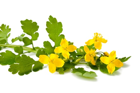 greater celandine isolated on white photo
