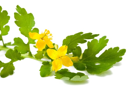 greater: greater celandine isolated on white Stock Photo