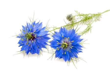 caraway: two nigella flowers isolated on white