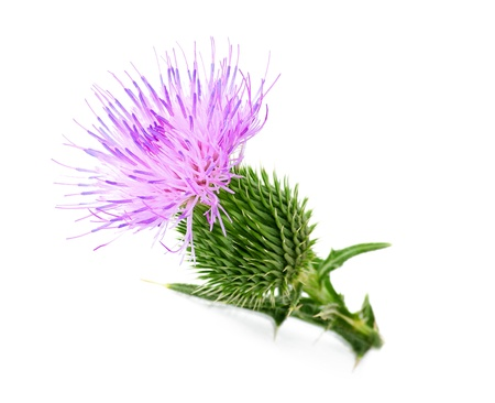 uncultivated: thistle flower isolated on white Stock Photo
