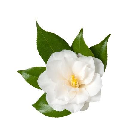 camellia: Fiore bianco isolato su sfondo bianco, camelia