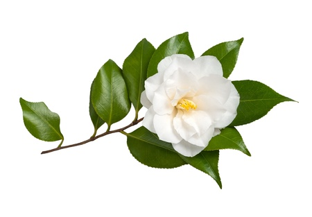 White Flower Isolated on White Background, Camellia  photo