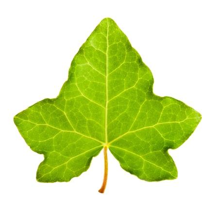 Ivy leaf isolated on white