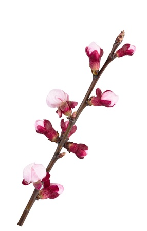 Apricot branch in flowers isolated on white photo