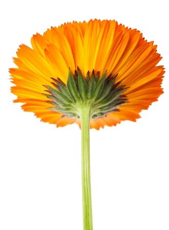 botanica: marigold corolla isolated on white