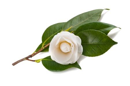camellia: Camelia bianca isolato su bianco