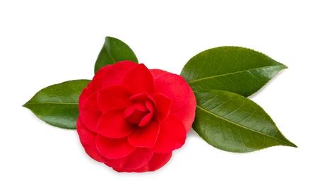 camellia: Camelia rossa isolato su bianco